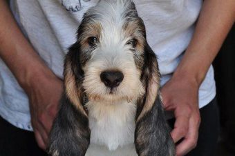 Grand basset puppies expected !