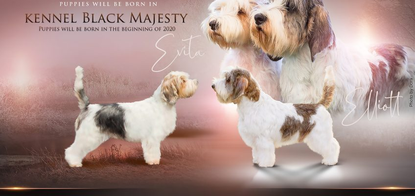 PBGV puppies expected in January 2020 !